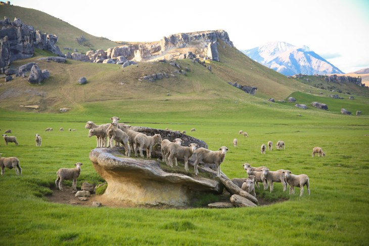 The Sheep of Castle Hill